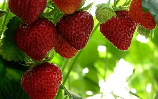 Die Mara des Bois Erdbeere. © OTBC