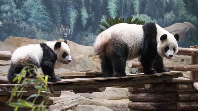 Yuan Meng, das Baby Panda ZooParc de Beauval
