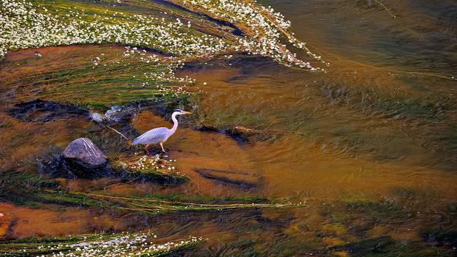 Reiher auf der Loire © L. de Serres