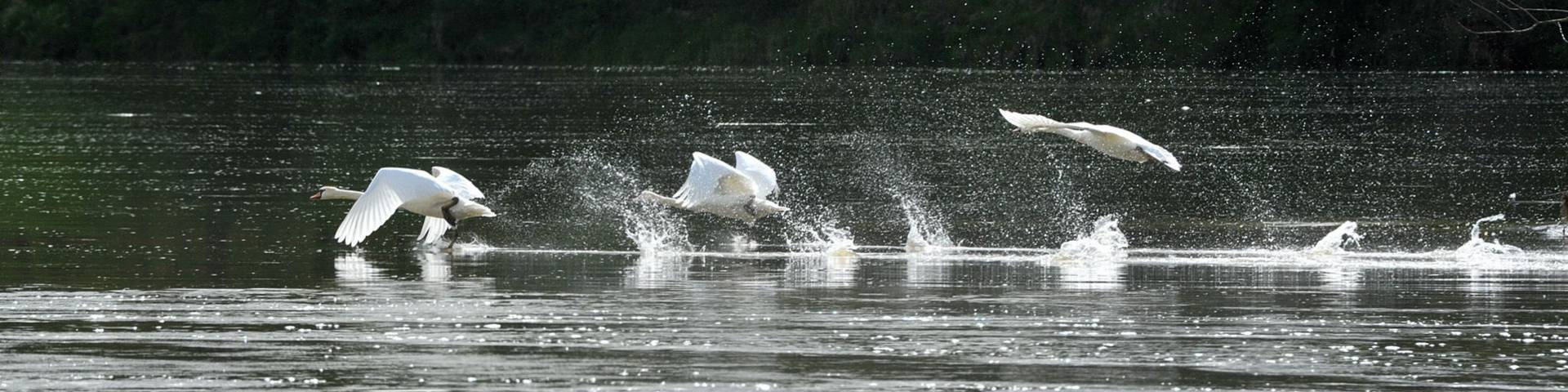 Schwäne über der Loire