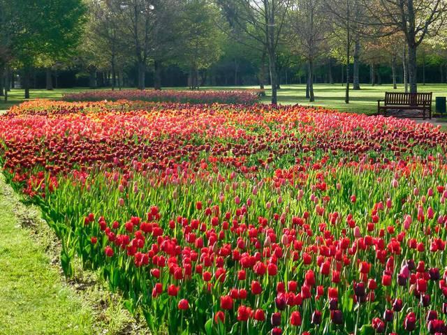 Les 100000 tulipes du château de Cheverny. © OTBC