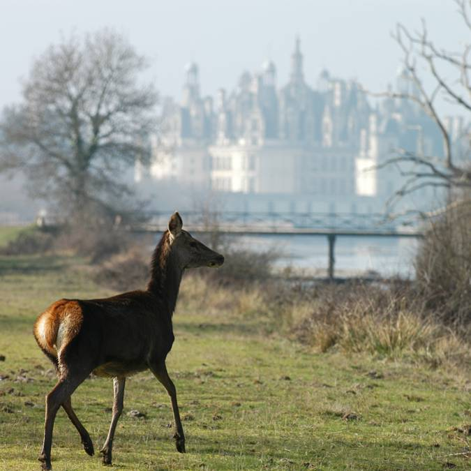 Junger Hirsch in der Natur bei Chambord