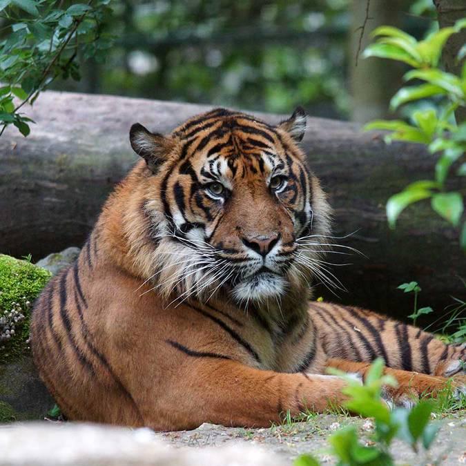 Asu, der Tiger aus Sumatra imZooParc de Beauval