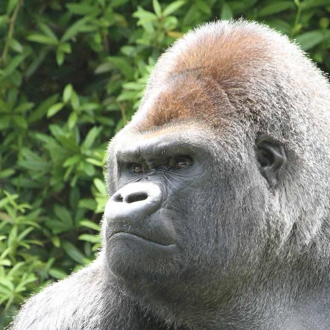 Asato, der Gorilla im ZooParc de Beauval