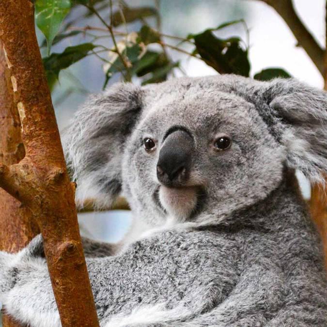 Koalas in Beauval. © ZooParc de Beauval