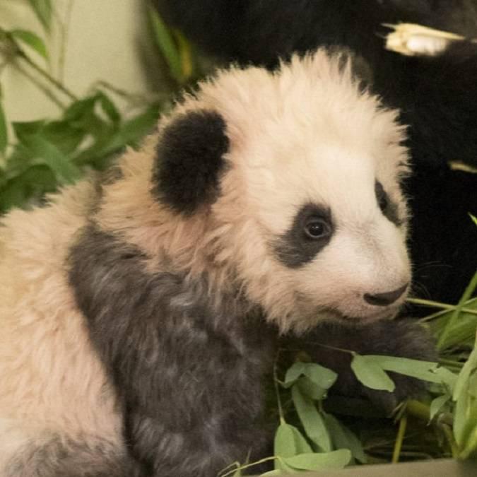 Yuan Meng, das Panda-Baby, der Star des ZooParc de Beauval © Beauval